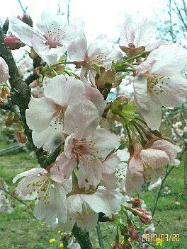 春の陽光桜